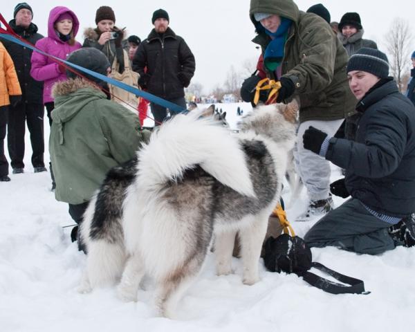 Ездовые собаки на реке Великой
