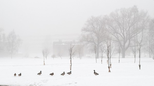 Утки на снегу