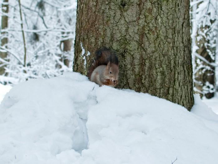 Белка грызёт орешки в Павловске