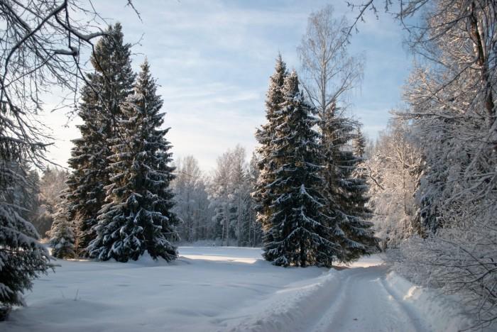 Ели у дорожки в снегу