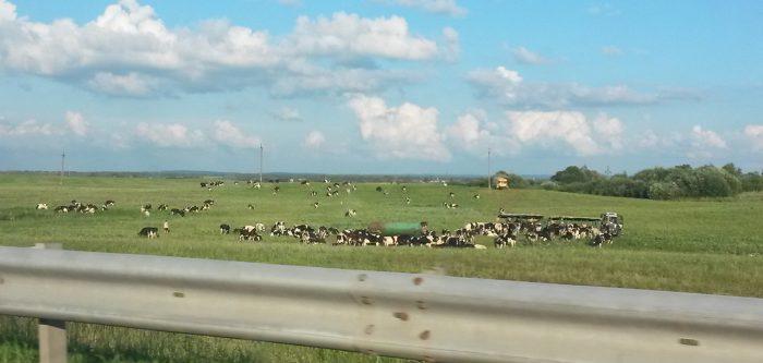 коровы вдоль дороги в Белоруссии