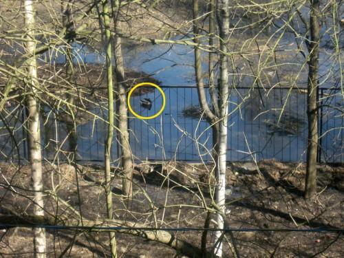 Утка плавает в луже во дворе