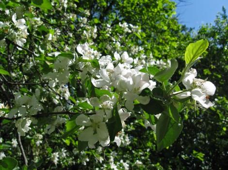 Цветущие деревья во Пскове