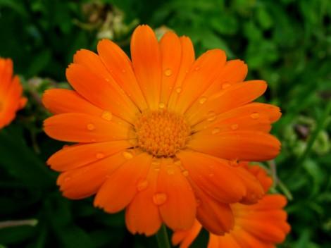 Капли дождя на цветке